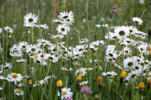 Field with daisies, photographed in the evening light