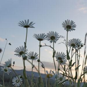 Feld mit Margeriten, im Abendlicht fotografiert