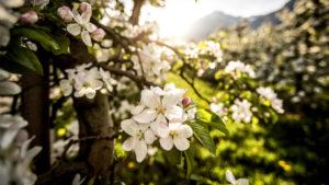 Apfelblüte, Malus domesticus, im Gegenlicht mit Unschärfe