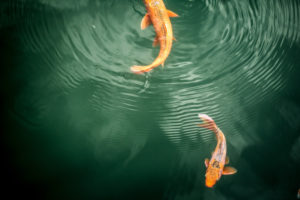 Koi fish, 2 fish in the water, with water rings