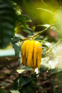 Buddha Frucht, Buddhas Hand, Zitronenbaum