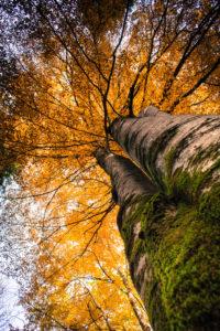 Buchenbaum, goldgelbe Herbstfärbung der Blätter, Froschperspektive