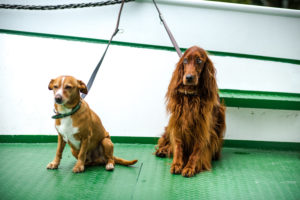 Leashed dogs on a ferry