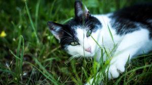 Young black and white cat, lying in a meadow, curious, facing camera