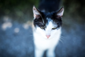 Young black and white cat, portrait, blur