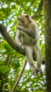 Long-tailed macaques sitting on an Tree, Macaca fascicularis, in Sacred Monkey Forest, Ubud, Indonesia.
