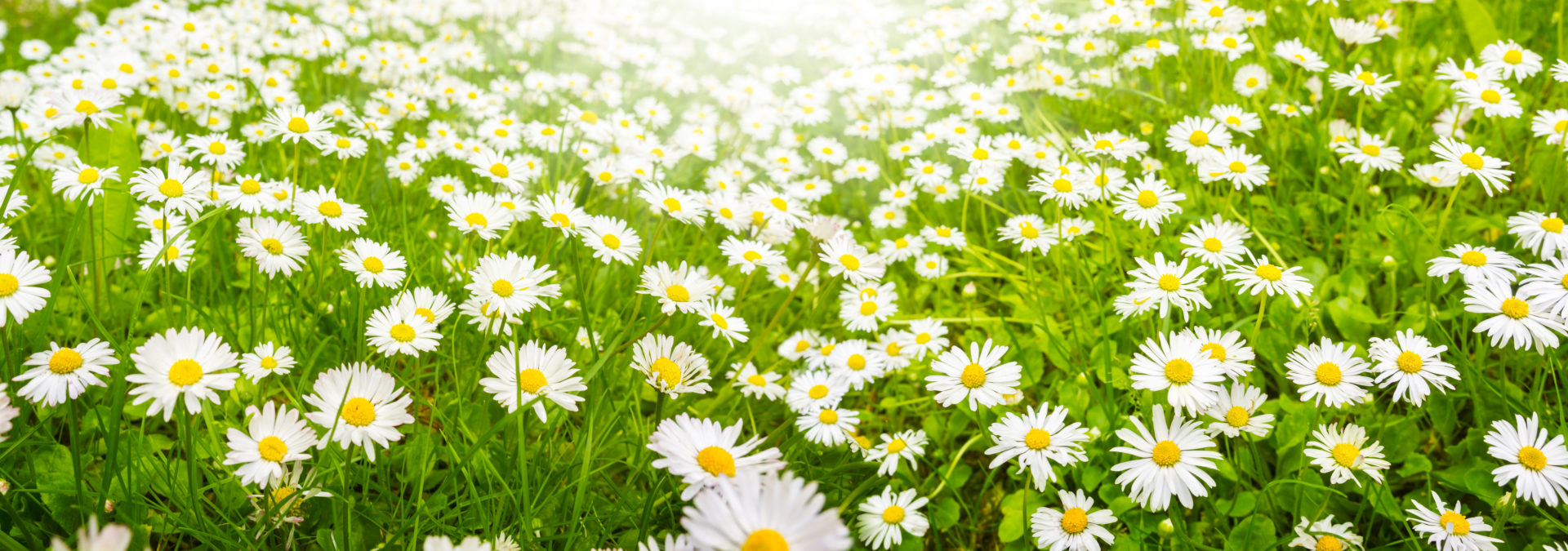 Daisies, flower meadow in summer, banners