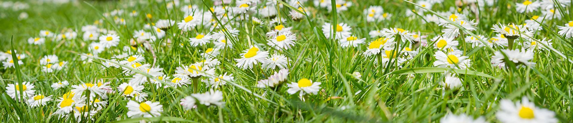 Daisy meadow, banner