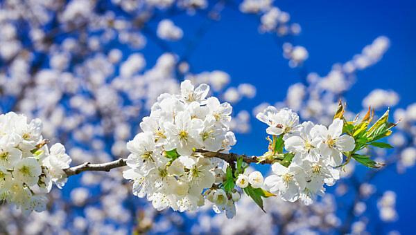 Cherry blossoms, cherry blossom