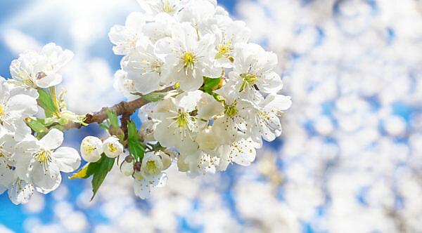 Cherry blossoms, sunshine, bokeh