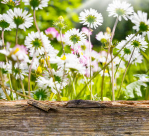 Daisies behind wood