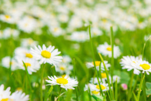 Daisies on the wayside