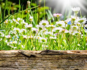 Daisies behind wooden board