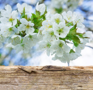 Cherry blossoms behind wooden board