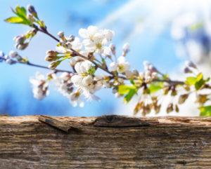 Cherry blossoms, sun, wooden board