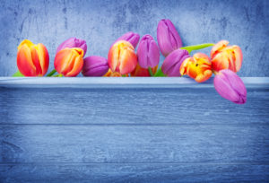 Tulips, wooden background