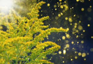 Goldenrod with pollen in front of bokeh