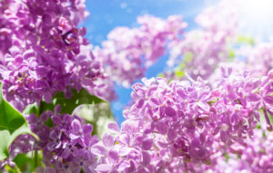 Lilac in the sunshine