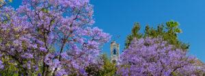 Faro central gardens, jacaranda trees in the Jardim Manuel Bivar,  the Algarve, Portugal