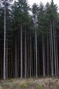 Dünne Baumstämme am Waldrand, Hochformat,
