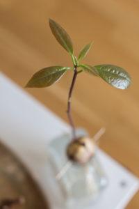 Avocado plant in a glass