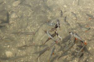 Fische in klarem Wasser.