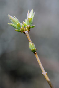 Natural Science, Spring buds on branch of a tree