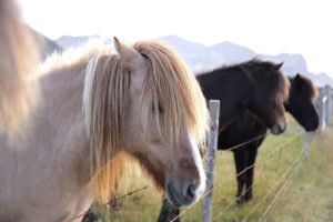 Icelandic horses on a pasture in the evening sun