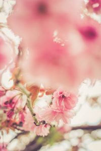 Blossoms of the ornamental cherry