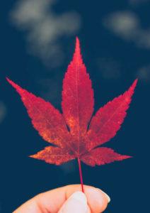 Hand, maple leaf, back light