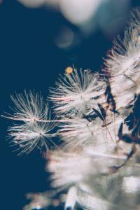 Pusteblume, Samen, close-up