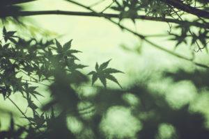 Japanischer Spitzahorn, Zweige, Blätter, grün