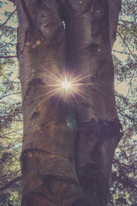two tree trunks, sun, back light