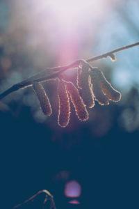 Birke, Zweig, Blütenkätzchen, Gegenlicht,