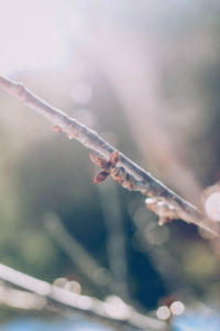 Branch, buds, backlight