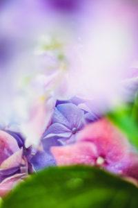 Hydrangea, detail
