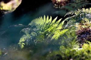 Forest floor, fern