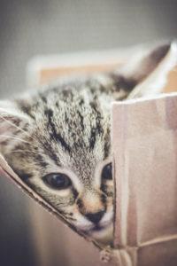 Katze, grau, getigert, schaut aus Karton heraus