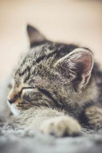 Katze, grau, getigert, liegen, schlafen