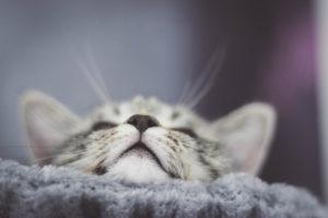 Katze, grau, getigert, Detail, Maul, Nase
