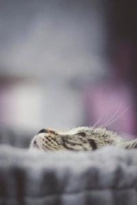 Katze, grau, getigert, schaut nach oben