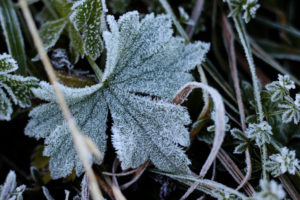 Plant, hoarfrost