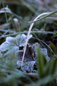 Plant, hoarfrost