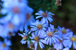 Blumen, blau