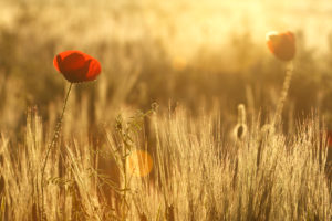 poppies in warm morning backlight