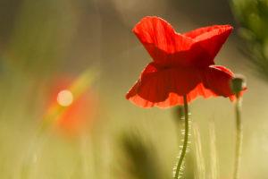 poppies in morning backlight