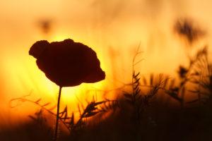 silhouette poppy at sunset