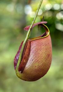 Kannenpflanze (Nepenthes bicalcarata), Familie der Kannenpflanzengewächse (Nepenthaceae), Sarawak, Borneo, Malaysia