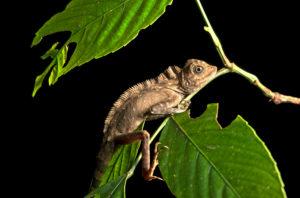Winkelkopfagame Gonocephalus bornensis, Familie der Agamen (Agamidae), Danum Tal Schutzzone (Danum Valley Conservation Area), Sabah, Borneo, Malaysia