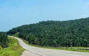 Commercial oil palm plantation, Sabah, Borneo, Malaysia